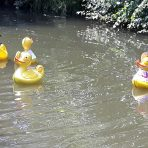 duck group swimming